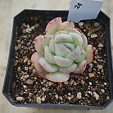 (1月)트윈베리24|Echeveria Twin Berry