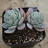 (1月)트윈베리63|Echeveria Twin Berry