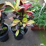 크로톤  아이스톤055신상 키약 65~80cm|Codiaeum Variegatum Blume Var Hookerianum