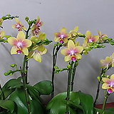 호접란.비너스(.아주좋은향).다시입고.(네추럴노란색).고급종.희귀종.잘나오지않는품종.꽃잎이 두껍다.상태굿.|Echeveria Venus