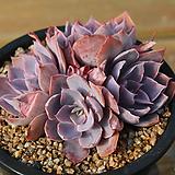 핑키 01-601|Echeveria cv Pinky