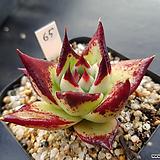 원종에보니슈퍼클론65 Echeveria Agavoides Ebony
