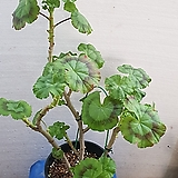 로즈버드 제라늄 묶은둥이 이름 잃어버렸어요|Geranium/Pelargonium