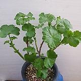 로즈버드 묶은중이 제라늄|Geranium/Pelargonium