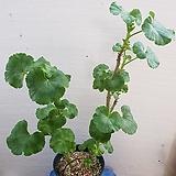 로즈버디 묶은둥이 제라늄|Geranium/Pelargonium
