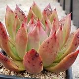 프로리페라 9401-9627|Echeveria agavoides Prolifera