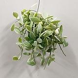 디시디아(무늬)/화이트/공중식물|
