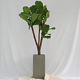 떡갈고무나무 특대형 그레이화분|Ficus elastica