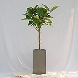 뱅갈고무나무 대형 그레이화분|Ficus elastica