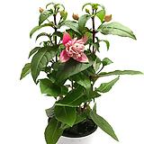 겹꽃후쿠시아|