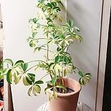 무늬 홍콩야자 대둥이(잎들이 작게 오밀조밀 예쁜수형)화분별도|