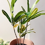 바나나 크로톤 묵둥이(수형 좋아요)튼튼목대/화분별도|Codiaeum Variegatum Blume Var Hookerianum
