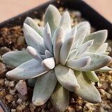 화이트그리니 4996 Dudleya White gnoma(White greenii / White sprite)