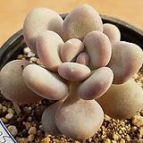 월미인 5043 Pachyphytum oviferum Tsukibijin