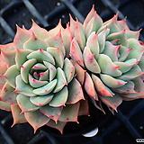 핑크팁스_o29|Echeveria Pink Tips