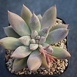 675. 토리마넨시스 Echeveria tolimanensis