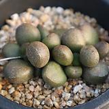리틀스페로이드 Echeveria minima hyb Roid