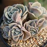 러블리로즈(모듬) Lovely Rose