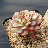 핑크미니마90 Echeveria pink minima