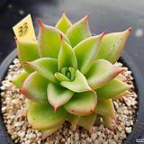 짧은잎적성33(자구1) Echeveria agavoides Akaihosi