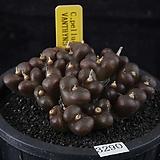 XP3290-C.pellucidum  VANTHYNS PASS産 펠루시덤22두|Echeveria Lucy