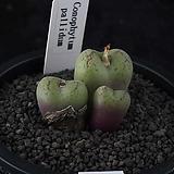 XP3291-Conophytum  Pallidum 파리담3두|