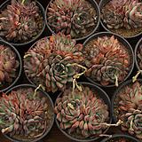 모란(랜덤) Echeveria cv Beniothine