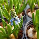 무스카리(향기좋은꽃/구근/알뿌리) 