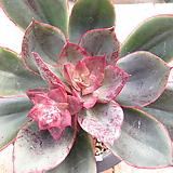 루브로마지나타sp목대(붉게물듬)-228 Echeveria rubromarginata