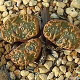 Pellucidum concordia 펠루시덤 콘코르디아|Echeveria Lucy