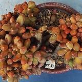1822 천대전송철화|Pachyphytum compactum