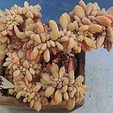 1931 익스페트리아철화|Cremneria Expatriata f.cristata