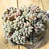 익스펙트리아철화(한몸목대)-316 Cremneria Expatriata f.cristata