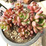 묵은 핑클루비(군생목대)-337 Sedeveria pink rubby