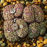 Obcordellum Multicolor 옵코델룸 멀티칼라|