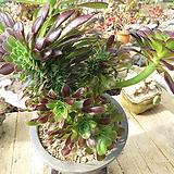 흑법사철화(대품한몸)-311 Aeonium arboreum var. atropurpureum
