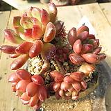 오래묵은 핑클루비(군생목대)-303 Sedeveria pink rubby