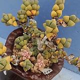 1857 벽어연|Corpuscularia lehmanni