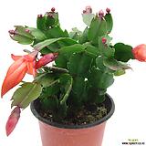 게발선인장(주황색꽃)|