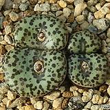 Obcordellum Ursprungianum 우르스프런기아넘|