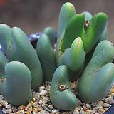 축전(C012) conophytum bilobum