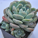 묵은아이시그린(C015) Echeveria Ice green