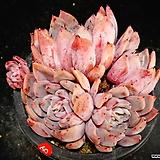 라조야hy59|Echeveria agavoides Rajoya