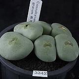 XP3342-Conophytum gratum 우월(雨月)6두|
