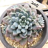 아모에나-205 Echeveria amoena