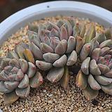 토리마넨시스(C061) Echeveria tolimanensis