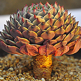 원종턱시판(C071) Echeveria tuxpan