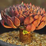 원종턱시판(C072) Echeveria tuxpan