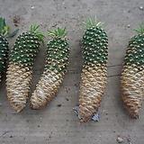 (랜덤)괴마옥5 Euphorbia hypogaea