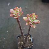 (2月)미니벨92 Echeveria Mini Belle
